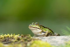 Green frog on a rock Royalty Free Stock Photos
