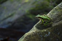 Green frog on the rock stock image