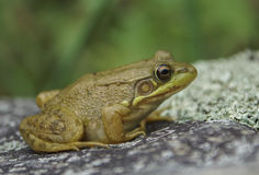 Green Frog on Rock. A green frog sits on a rock warming itself in the sun Royalty Free Stock Photography