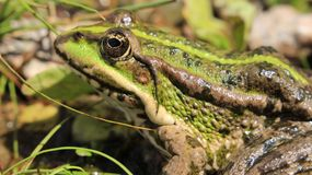 Green frog in search of food. The big eyes of the green frog are looking for easy prey Royalty Free Stock Photos