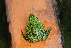 Green frog seat on yellow board Royalty Free Stock Photography