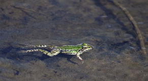 Green frog in shallow waters Stock Photo