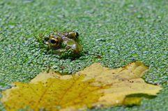 Autumn landscape. Green frog in algae and colored leaf Stock Photos