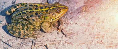 The green frog sits on the ground. The swamp. stock photography