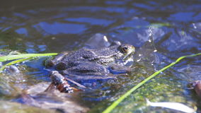 Green Frog Sits on the Shore near the River. Close-up. The toad blinks his eyes, stirs his nostrils and breathes. Summer, sunny day stock video footage
