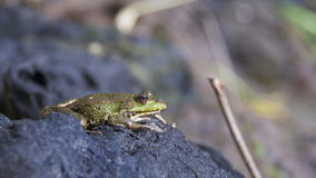 Green Frog Sits on the Shore near the River stock video footage