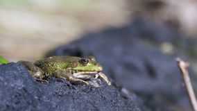 Green Frog Sits on the Shore near the River stock footage