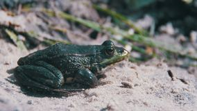 Green Frog Sits on the Shore near the River stock video