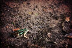 Green Frog Sitting on Damp Earth Royalty Free Stock Images