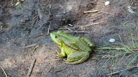 Green Frog sitting on the ground not moving stock video