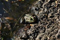Green frog sitting on ground of riverbank, dark background stock photo