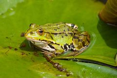 A green frog sitting on the leaf Royalty Free Stock Images