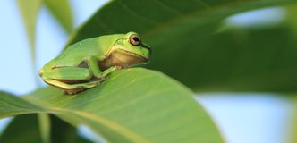 Green frog sitting on leaf Royalty Free Stock Photography