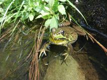 Green frog sitting in pond. A green frog sitting in clear pond water Royalty Free Stock Images