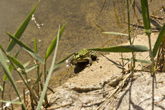 Green frog. Sitting on a river bank Royalty Free Stock Photo