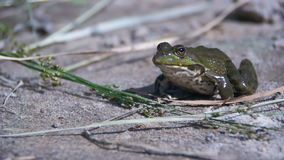 Green frog sitting on a river bank and jump in water. Slow motion. In 96 fps. Close-up. The toad blinks his eyes, stirs his nostrils and breathes. Summer, sunny stock video footage