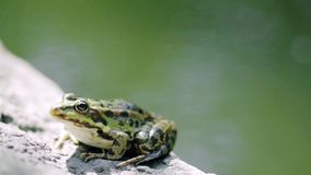 Green frog sitting on the rock. Breathing fresh air. 4k stock video footage