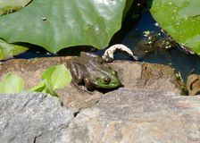 Green frog sitting on rock stock photo