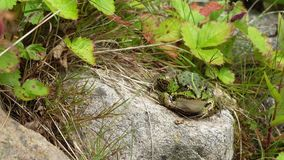 Green frog sitting on a rock stock video footage