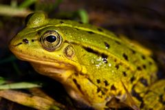Green frog sitting in shallow water Royalty Free Stock Photography