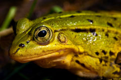 Green frog sitting in shallow water Stock Photos