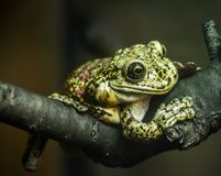 Green frog sitting on a tree branch on a dark background royalty free stock photos