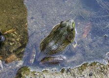 Green Frog. Sitting in water stock image