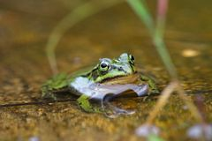 Green frog sitting in a water puddle Royalty Free Stock Photo