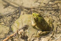 Green frog sitting in water on stone in oasis Tunisia
