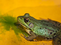 Green frog sitting on yellow water lily leaf Stock Photo