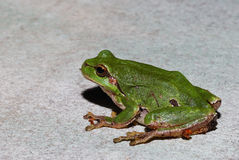 Green frog size view Stock Images