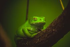 Green frog sleeping on branch Stock Image