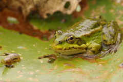 Green frog. Small green frog on a leaf Stock Photo