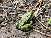 Green frog. A green in a spot frog sits ashore view from behind Stock Photos