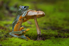 Green frog standing and holding a mushroom. Photography Royalty Free Stock Images