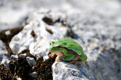 Green frog on the stone in the wild Royalty Free Stock Image