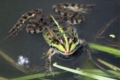 Green frog in the summer closeup Stock Image