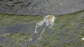 Green frog swimming from mud to clean water stock footage