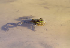 Green frog swimming in a pond on the sandy beach Royalty Free Stock Image