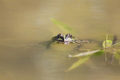 Green frog swimming in the water sticking his face Stock Photography