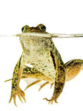Green frog swimmnig in water  on white. Green frog with the eyes above water and the rest of his body is visible under water, front view Stock Photo