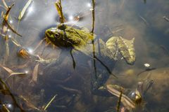 Green frog with tadpoles in water. Close-up royalty free stock image