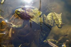Green frog with tadpoles in water. Close-up stock images
