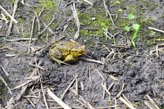 Green frog toad spring the beginning of movement have reptiles new life. About of reservoirs Stock Photo