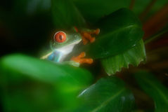 Green frog on the tree Stock Photos
