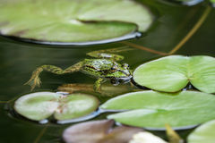 Green frog in the water Stock Images
