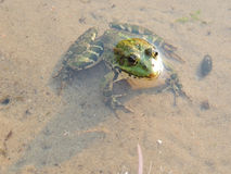 Green frog in the water Stock Photo