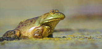 Green frog water level view Stock Images