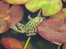 Green frog between water lilies Royalty Free Stock Image