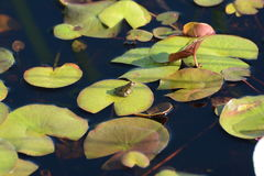 Green Frog on water lilies Royalty Free Stock Photos